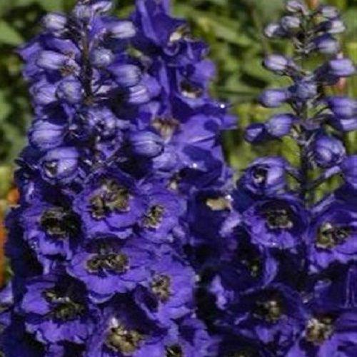 Delphinium Magic Fountain Dark Blue