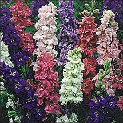 Larkspur Giant Imperial Crown Mix 100 Seeds 400 Seeds