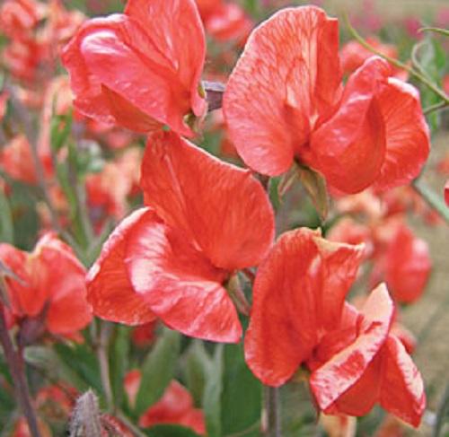 Медиум цветок