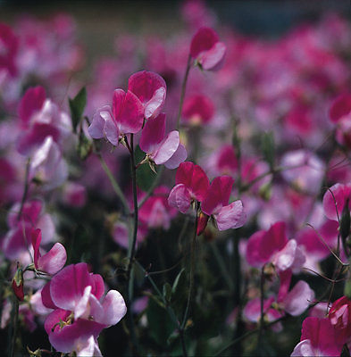 Sweet Pea - Old Spice - Painted Lady - 30 seeds